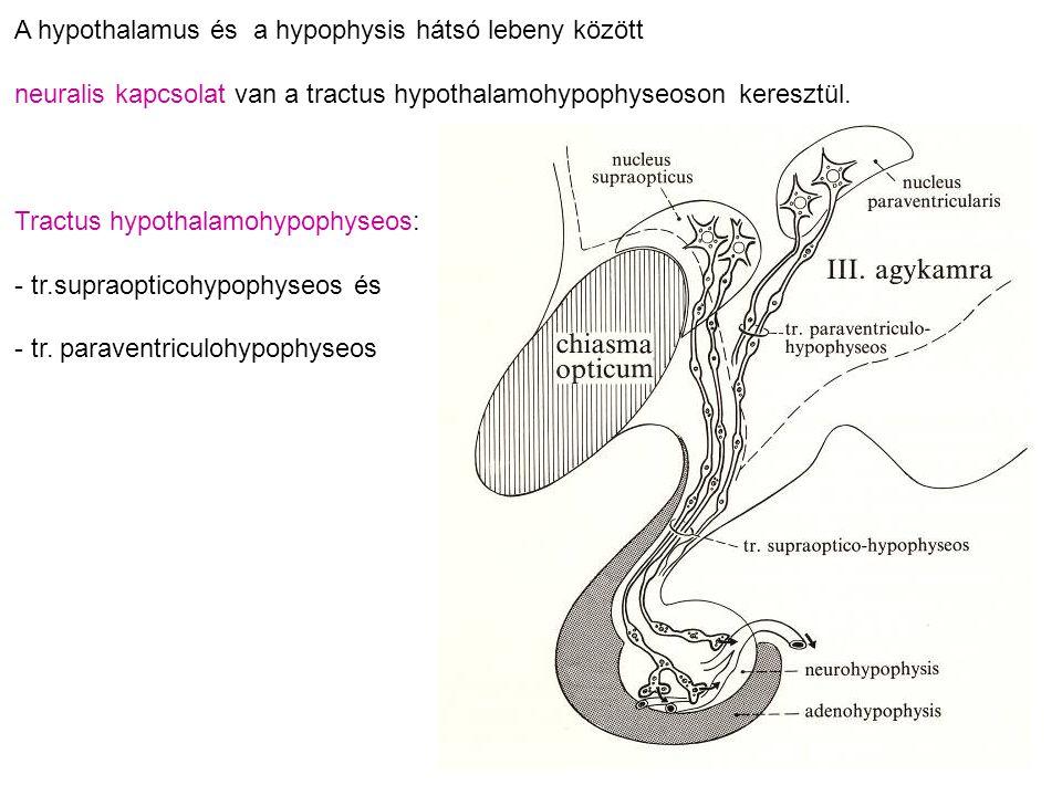 A hypothalamus és a hypophysis hátsó lebeny között
