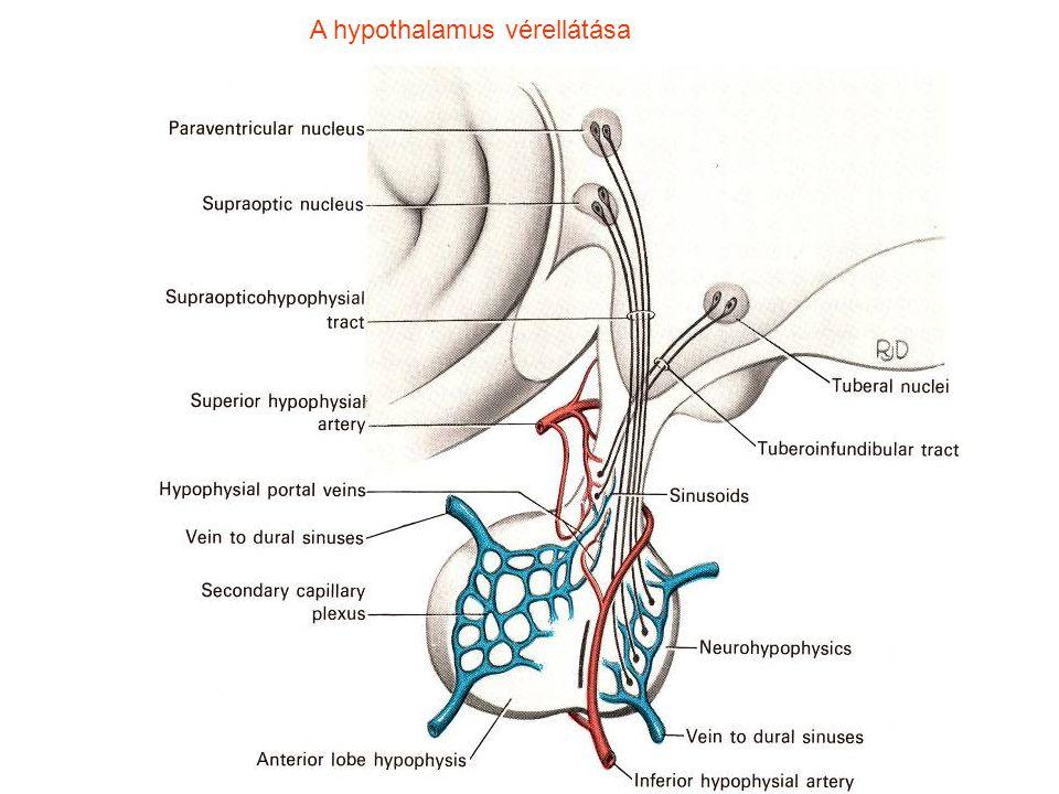A hypothalamus vérellátása