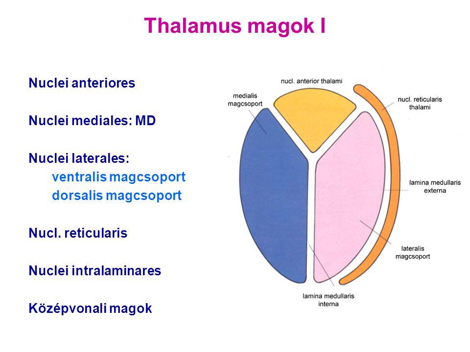 Thalamus magok I Nuclei anteriores Nuclei mediales: MD