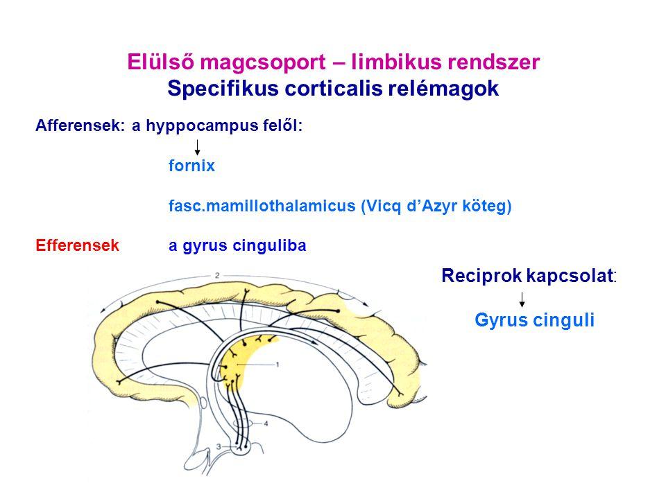 Elülső magcsoport – limbikus rendszer Specifikus corticalis relémagok