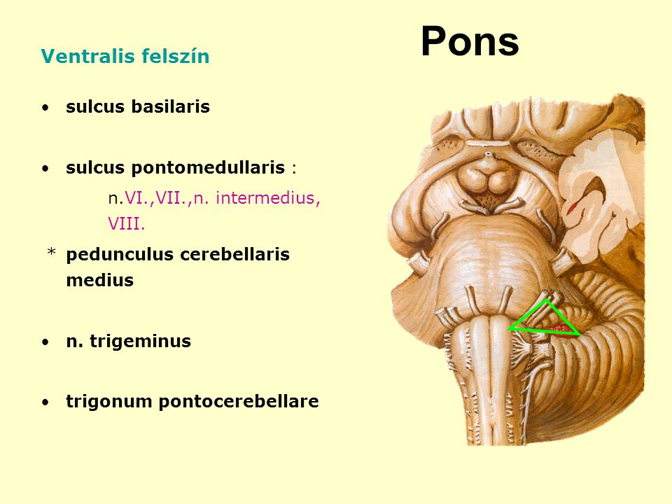 Pons Ventralis felszín sulcus basilaris sulcus pontomedullaris :
