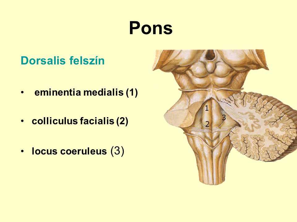 Pons Dorsalis felszín eminentia medialis (1) colliculus facialis (2)