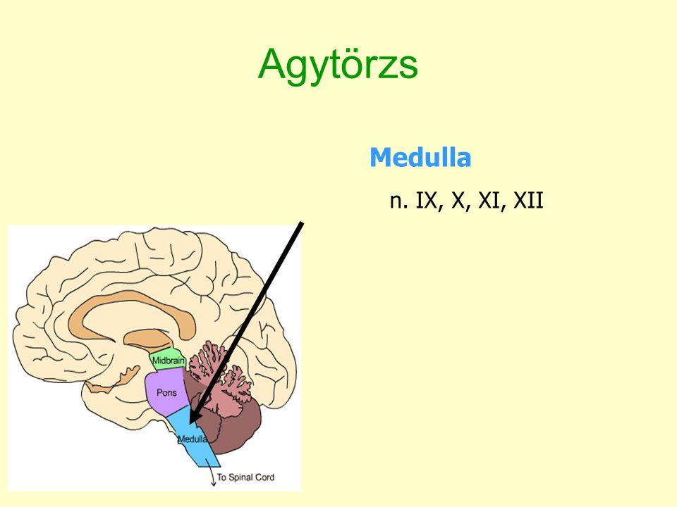 Agytörzs Medulla n. IX, X, XI, XII