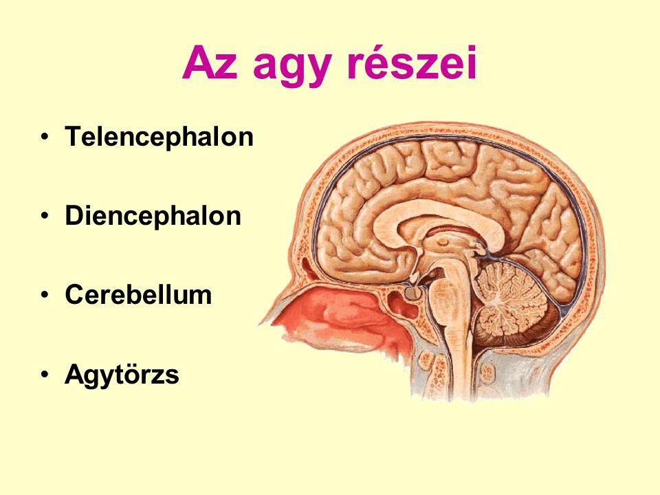 Az agy részei Telencephalon Diencephalon Cerebellum Agytörzs