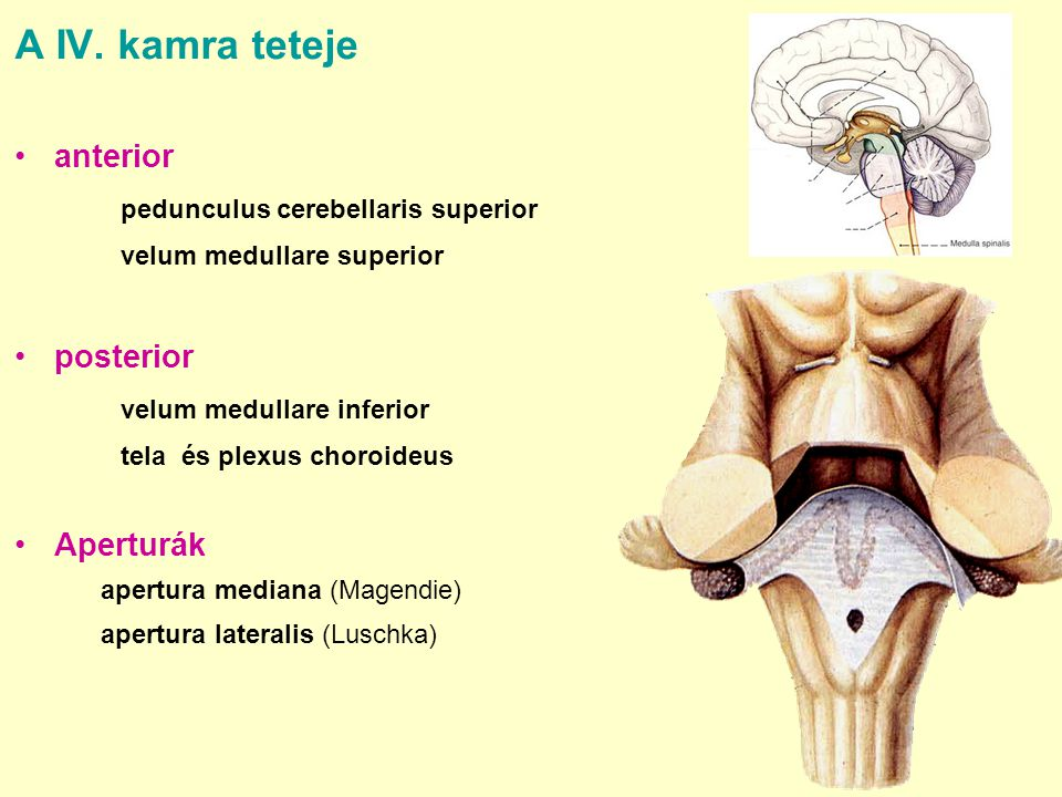 A IV. kamra teteje anterior pedunculus cerebellaris superior posterior