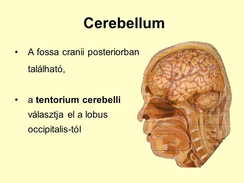 Cerebellum A fossa cranii posteriorban található,