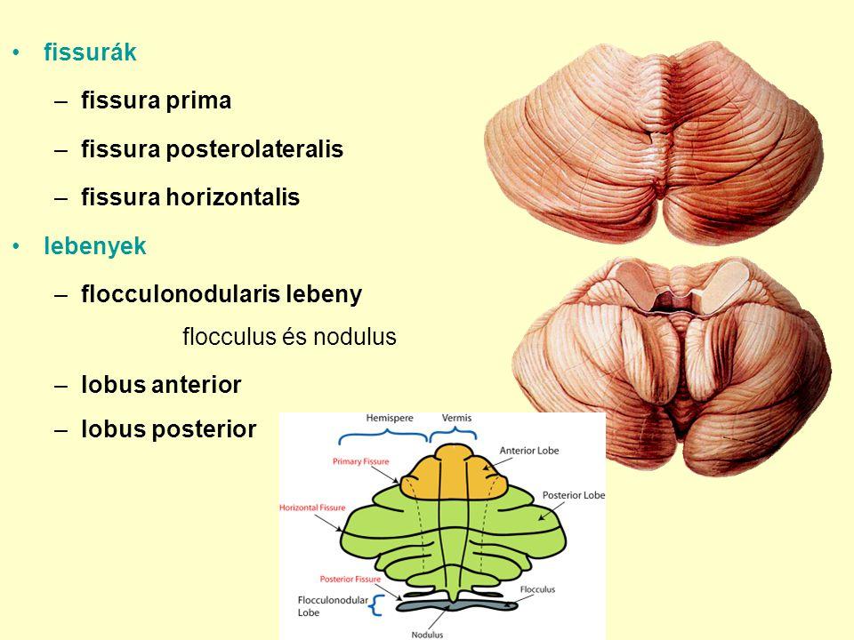 fissurák fissura prima. fissura posterolateralis. fissura horizontalis. lebenyek. flocculonodularis lebeny flocculus és nodulus.