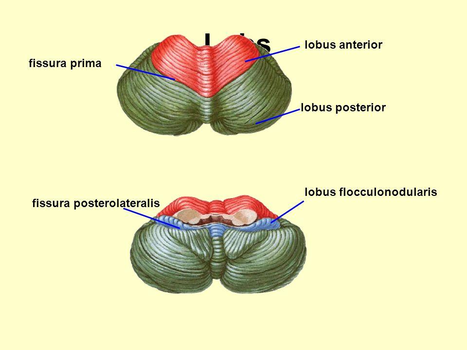Lobs lobus anterior fissura prima lobus posterior
