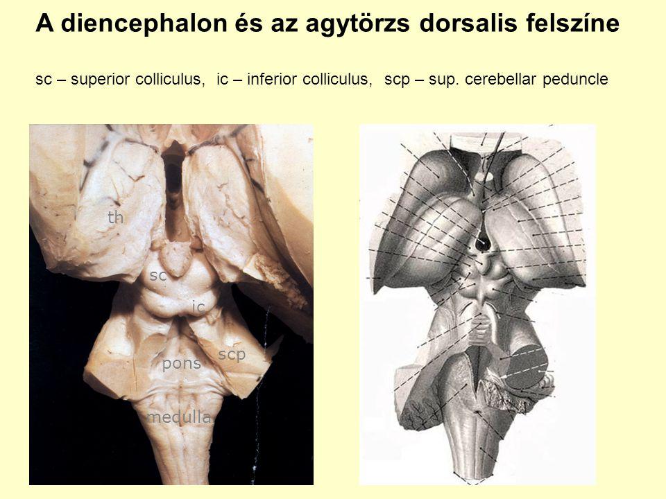 A diencephalon és az agytörzs dorsalis felszíne