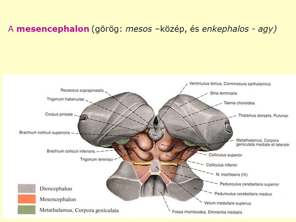 A mesencephalon (görög: mesos –közép, és enkephalos - agy)