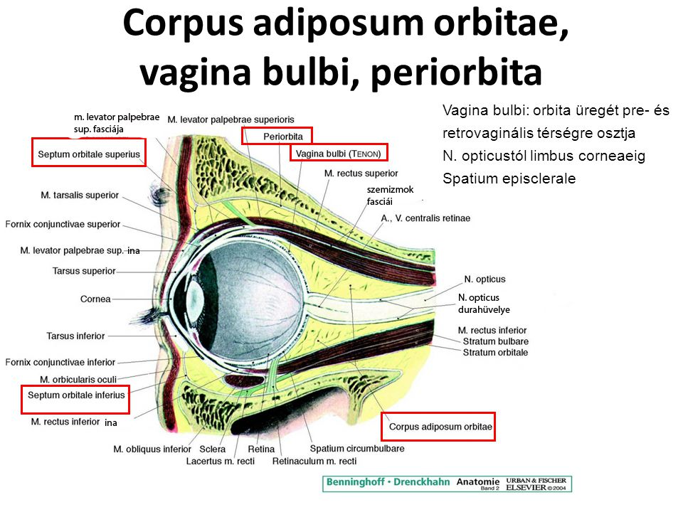 Corpus adiposum orbitae, vagina bulbi, periorbita