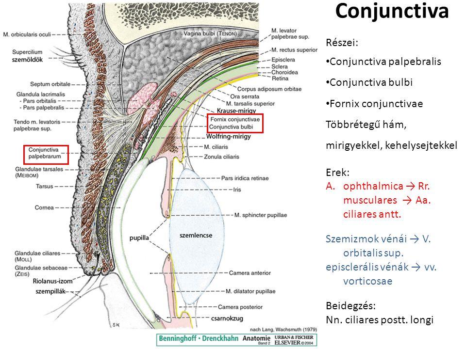 Conjunctiva Részei: Conjunctiva palpebralis Conjunctiva bulbi