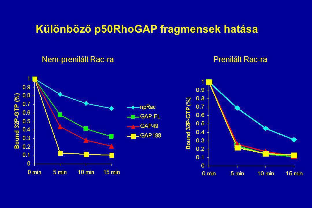 Különböző p50RhoGAP fragmensek hatása