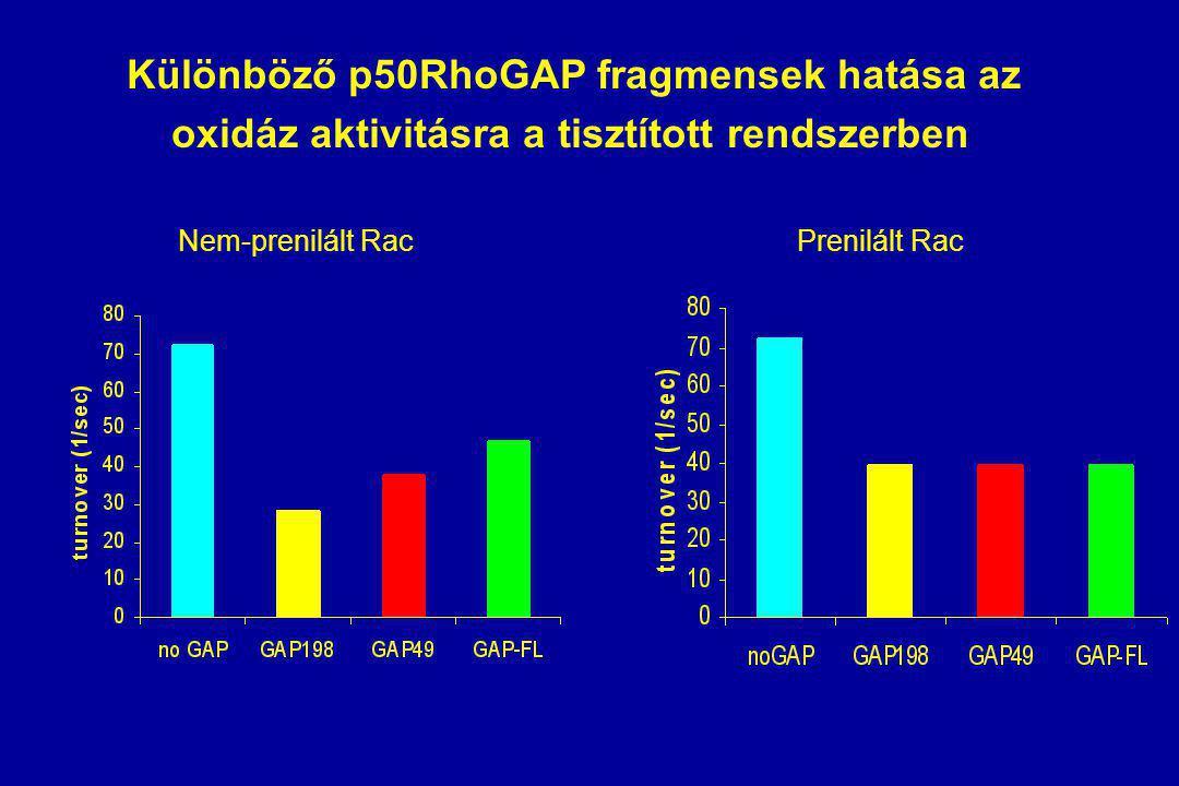 Különböző p50RhoGAP fragmensek hatása az