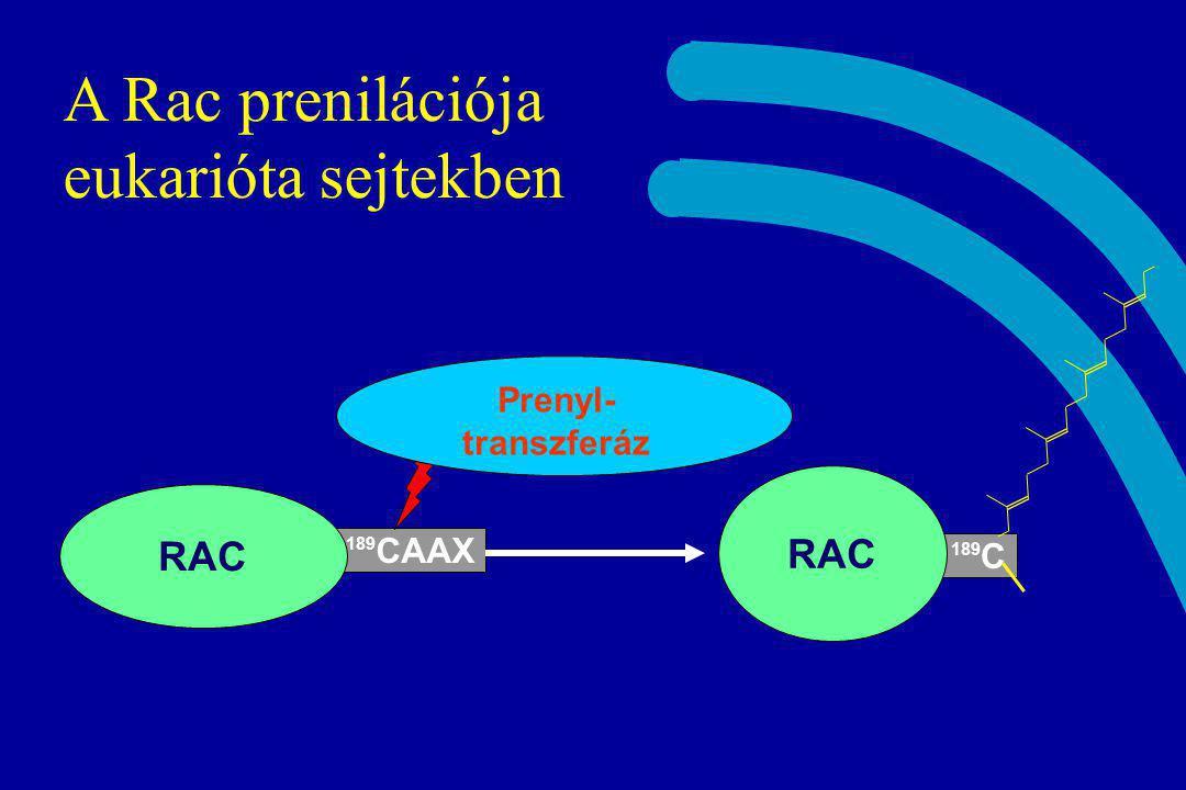 A Rac prenilációja eukarióta sejtekben
