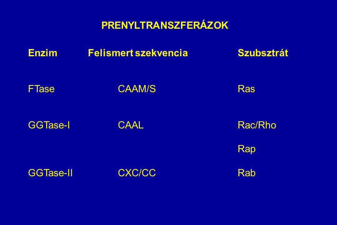 PRENYLTRANSZFERÁZOK Enzim Felismert szekvencia Szubsztrát. FTase CAAM/S Ras. GGTase-I CAAL Rac/Rho.