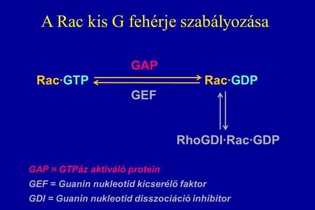 A Rac kis G fehérje szabályozása