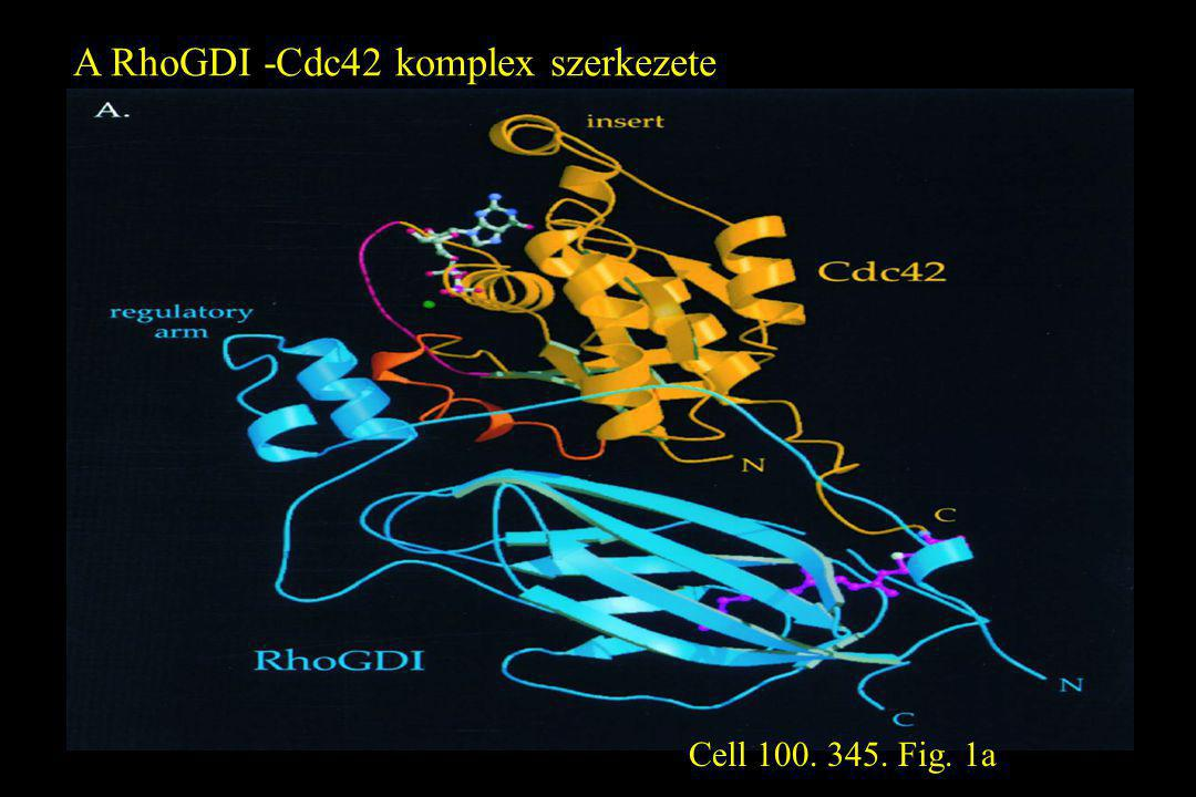 A RhoGDI -Cdc42 komplex szerkezete