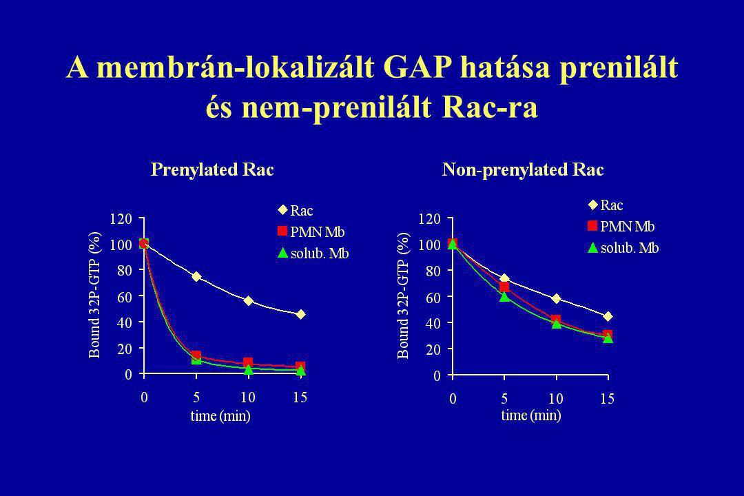 A membrán-lokalizált GAP hatása prenilált és nem-prenilált Rac-ra