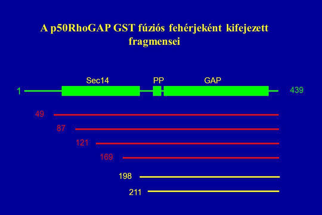A p50RhoGAP GST fúziós fehérjeként kifejezett fragmensei