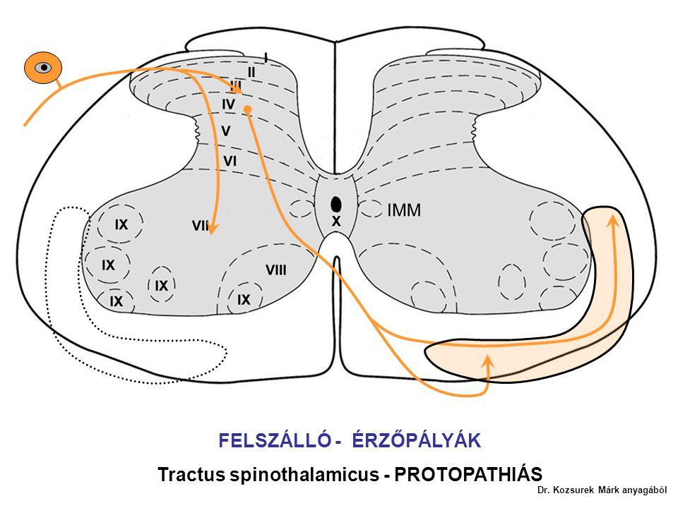 FELSZÁLLÓ - ÉRZŐPÁLYÁK Tractus spinothalamicus - PROTOPATHIÁS