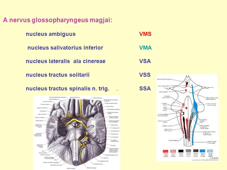 A nervus glossopharyngeus magjai:
