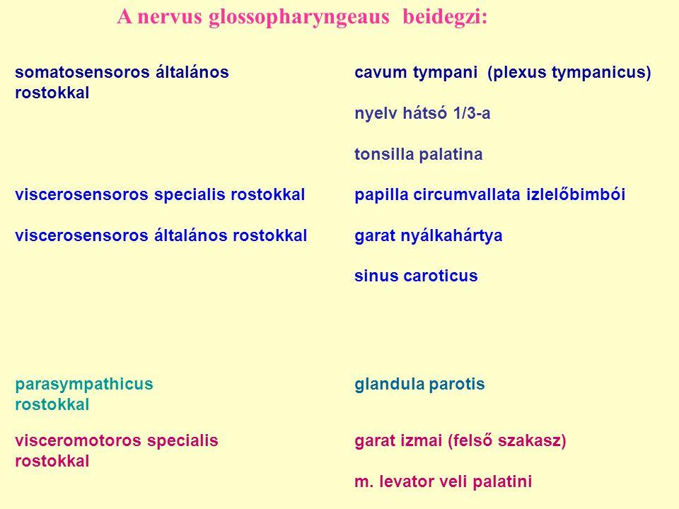 A nervus glossopharyngeaus beidegzi: