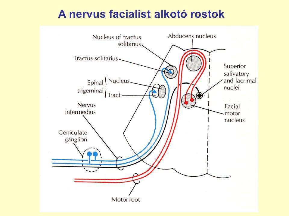 A nervus facialist alkotó rostok