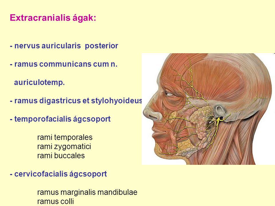 Extracranialis ágak: - nervus auricularis posterior