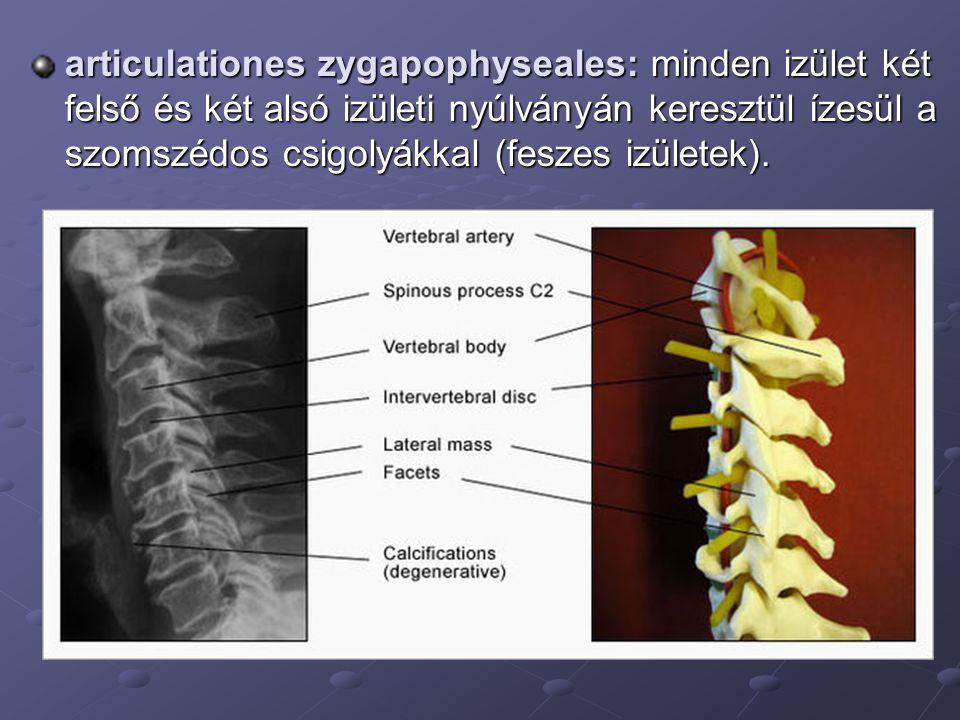 articulationes zygapophyseales: minden izület két felső és két alsó izületi nyúlványán keresztül ízesül a szomszédos csigolyákkal (feszes izületek).