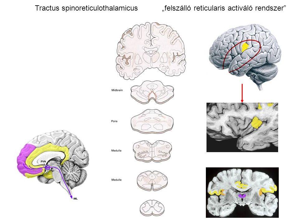 """Tractus spinoreticulothalamicus """"felszálló reticularis activáló rendszer"""