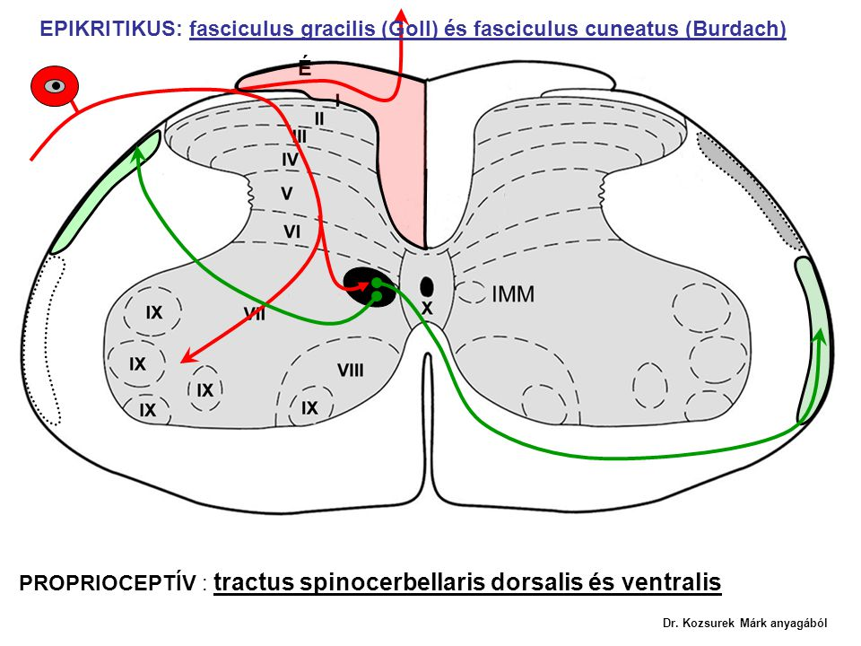 PROPRIOCEPTÍV : tractus spinocerbellaris dorsalis és ventralis