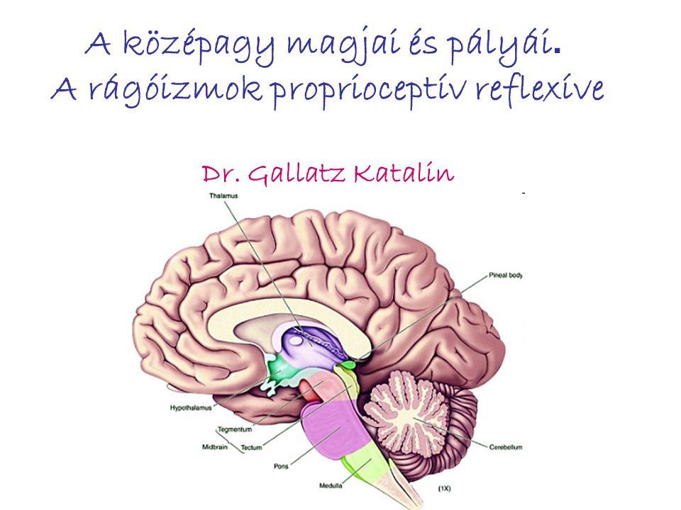 A középagy magjai és pályái. A rágóizmok proprioceptív reflexíve