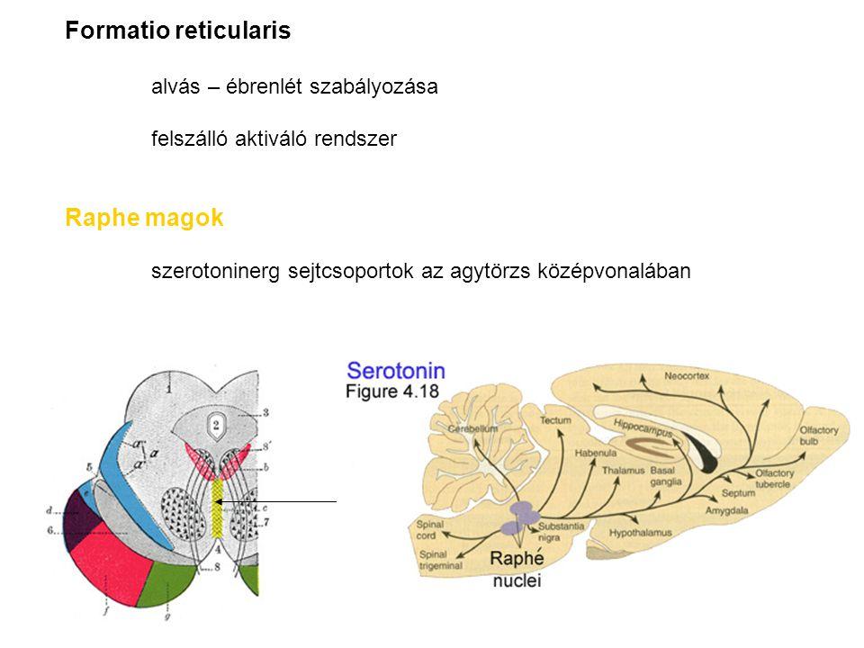 Formatio reticularis Raphe magok alvás – ébrenlét szabályozása