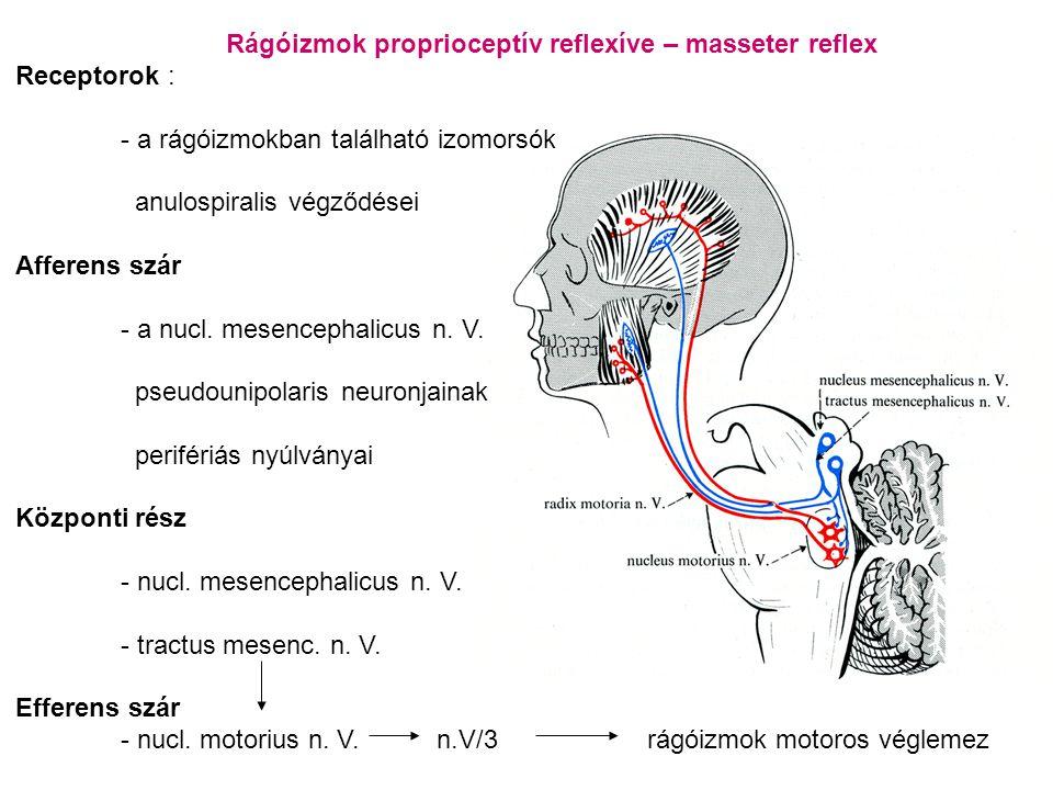Rágóizmok proprioceptív reflexíve – masseter reflex