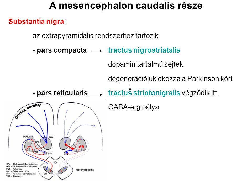 A mesencephalon caudalis része