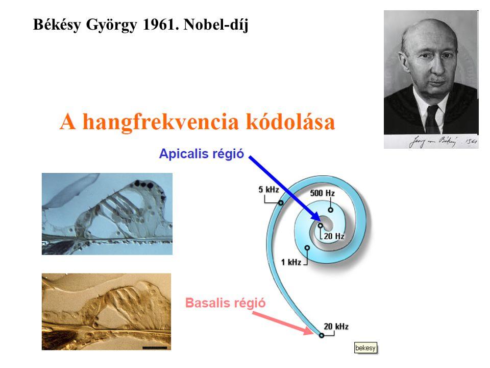 Békésy György 1961. Nobel-díj