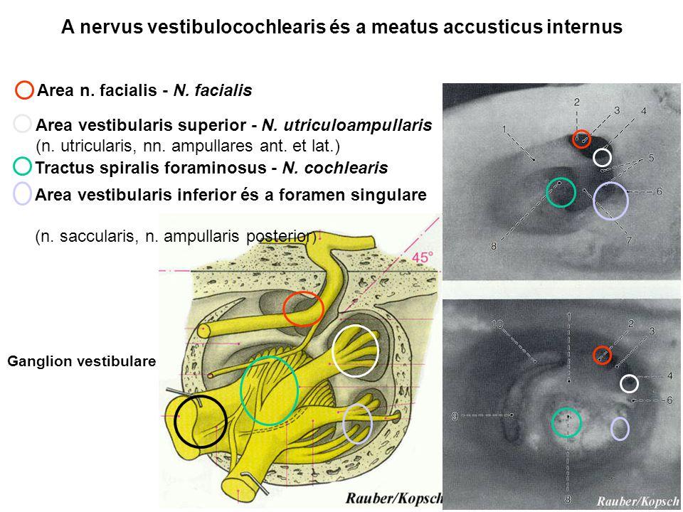 A nervus vestibulocochlearis és a meatus accusticus internus