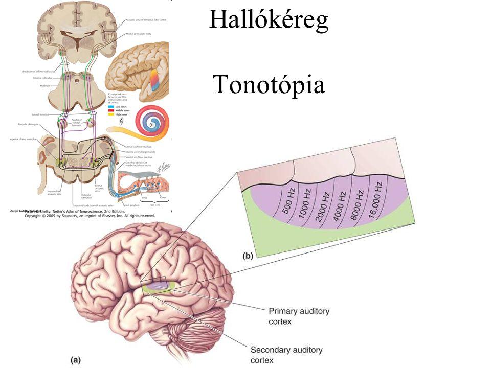 Hallókéreg Tonotópia