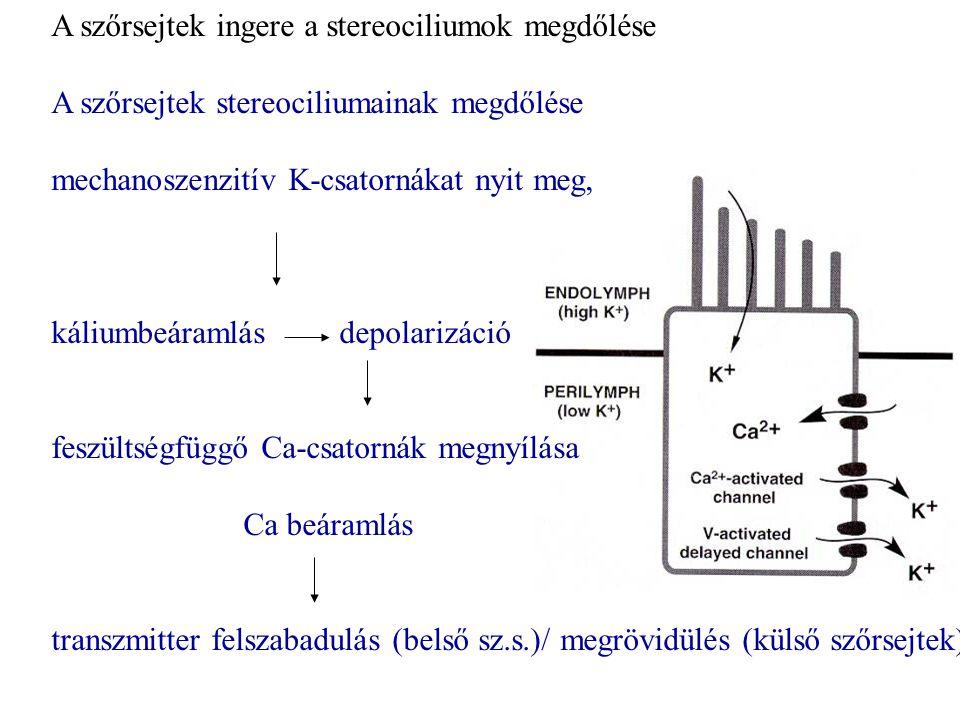 A szőrsejtek ingere a stereociliumok megdőlése