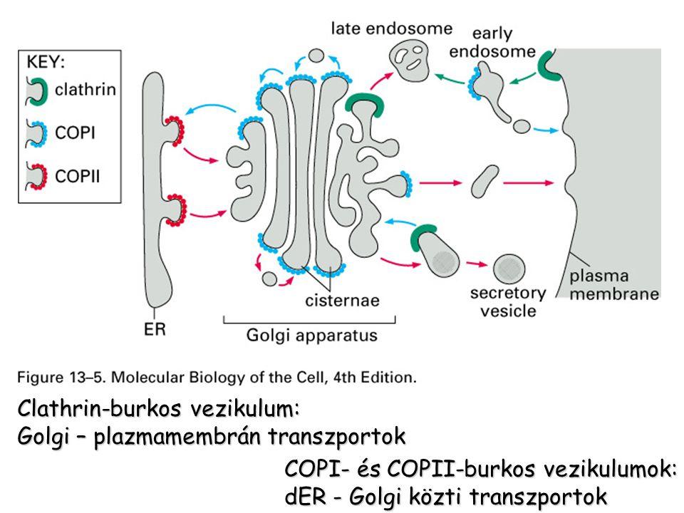 Clathrin-burkos vezikulum: