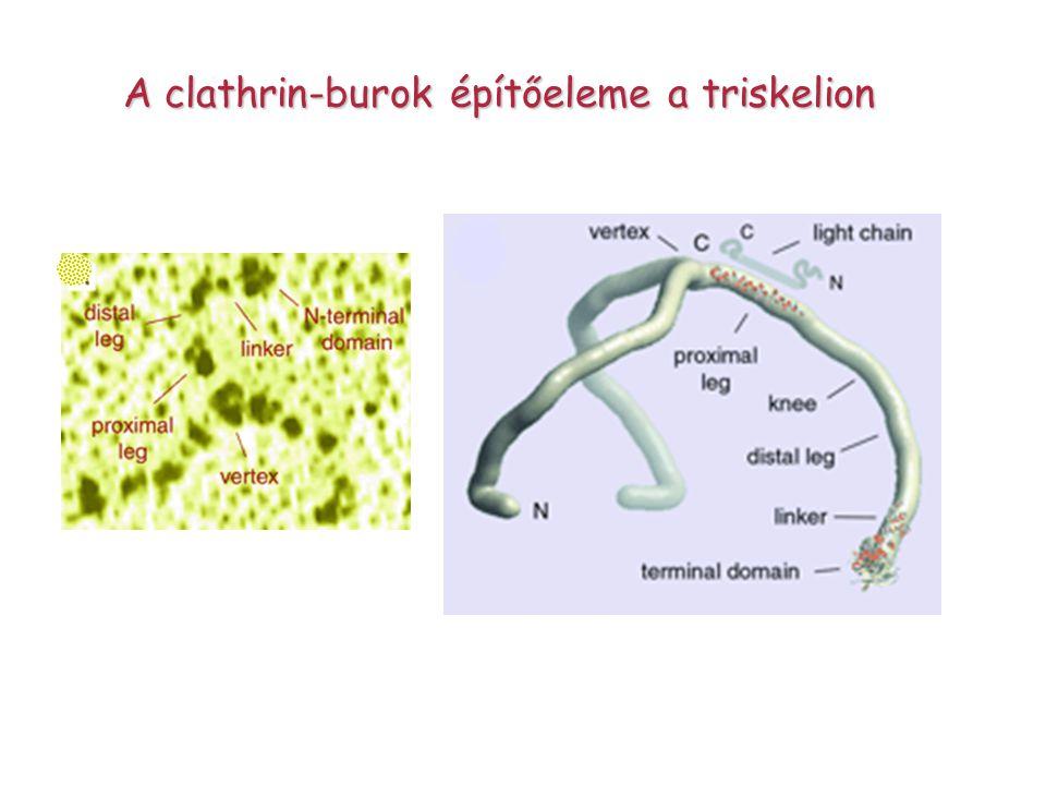 A clathrin-burok építőeleme a triskelion