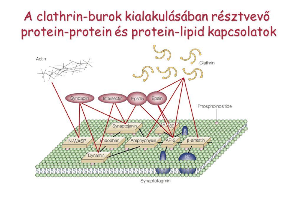 A clathrin-burok kialakulásában résztvevő