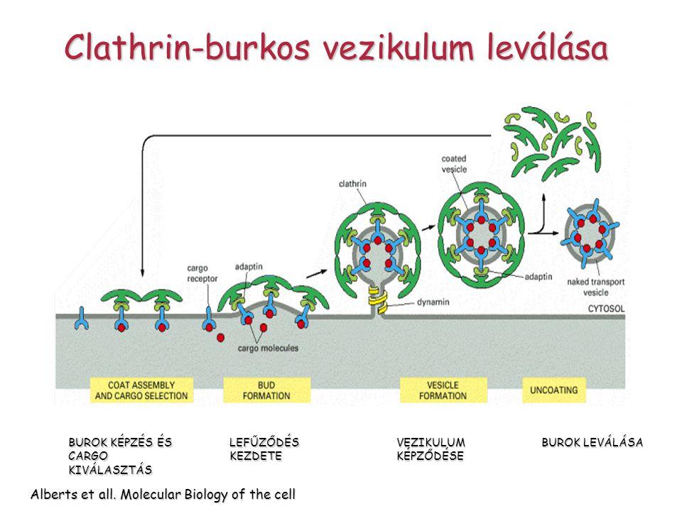 Clathrin-burkos vezikulum leválása