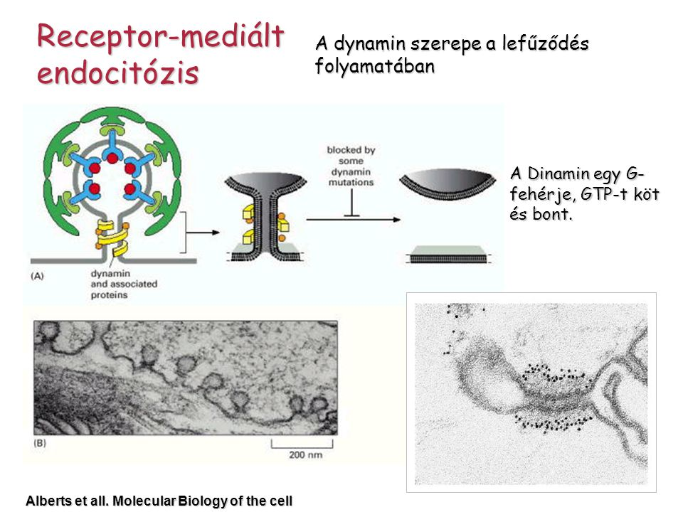 Receptor-mediált endocitózis