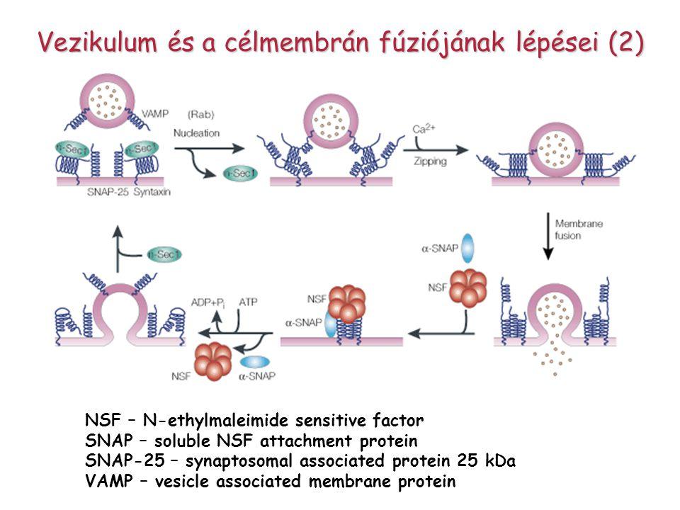 Vezikulum és a célmembrán fúziójának lépései (2)