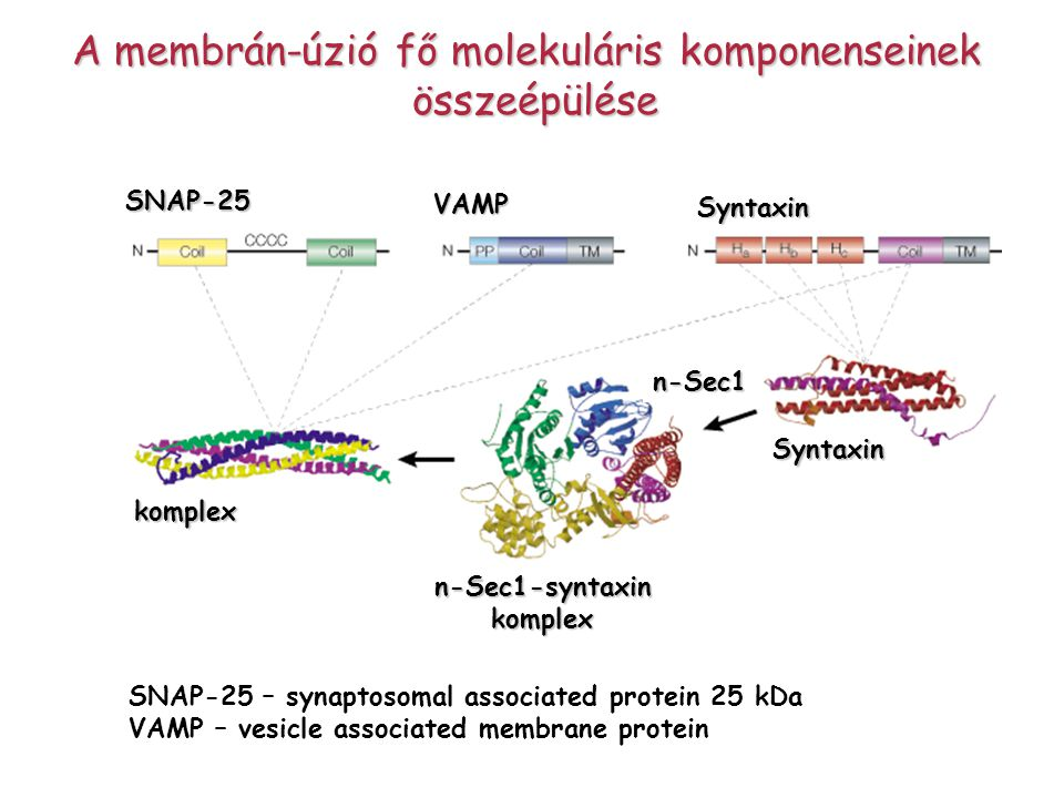 A membrán-úzió fő molekuláris komponenseinek
