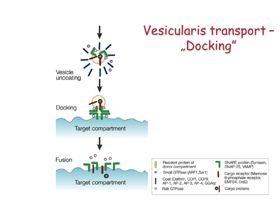 Vesicularis transport –