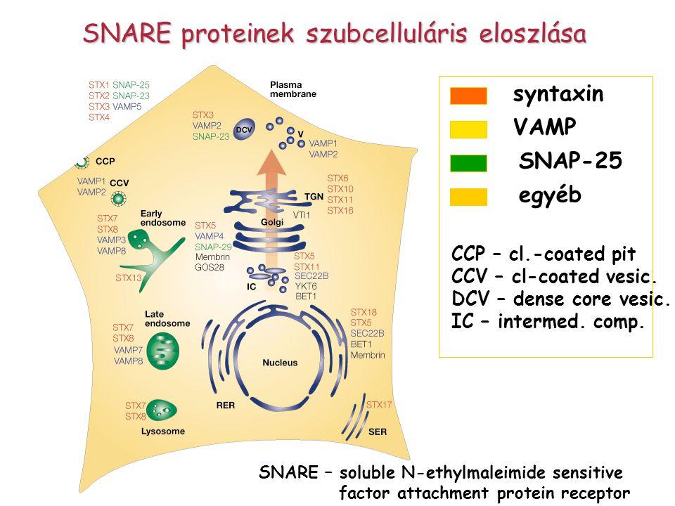 SNARE proteinek szubcelluláris eloszlása