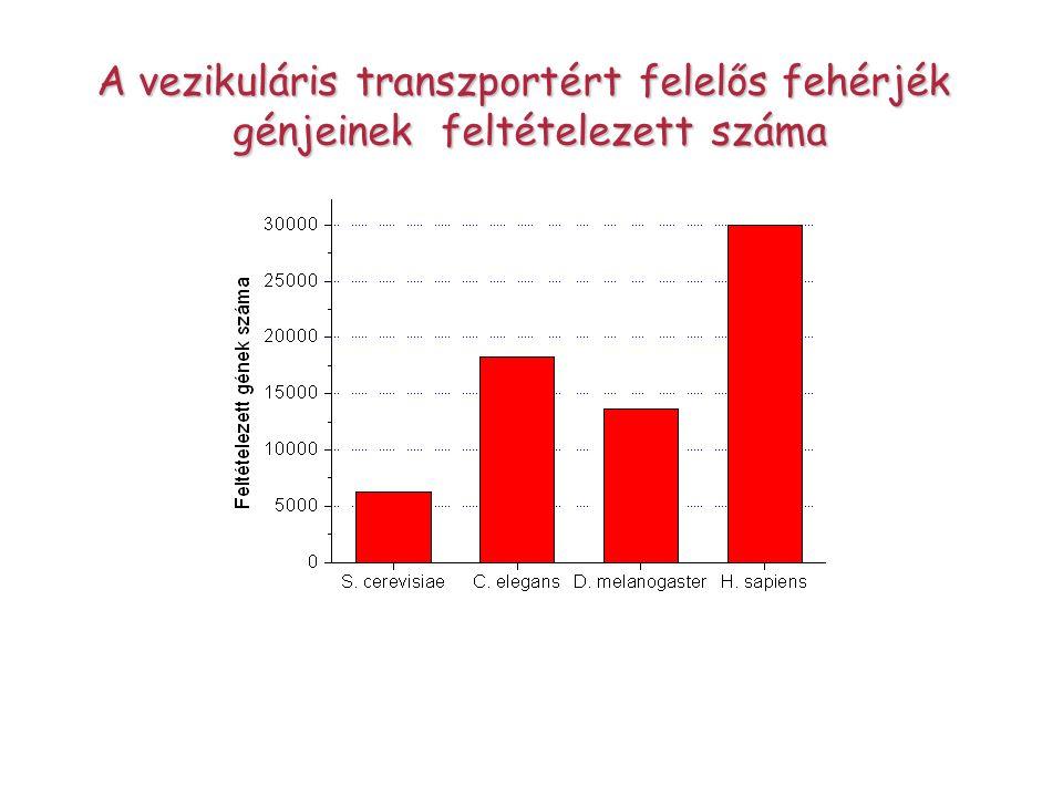 A vezikuláris transzportért felelős fehérjék
